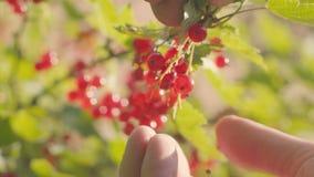 Skörd av den krokiga vinbäret från en buske Närbild av bär och händer arkivfilmer