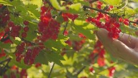 Skörd av den krokiga vinbäret från en buske Närbild av bär och händer lager videofilmer