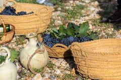 Skörd av druvor Korg av druvor och vin Höstlig natur i vingård arkivbild