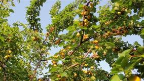 Skörd av mogna aprikors stock video