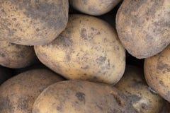 Skörd av nya och sunda potatisar royaltyfria bilder