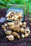 Skörd av nya organiska potatisar i trädgården med den fulla korgen och den lilla mursleven i jorden arkivfoto