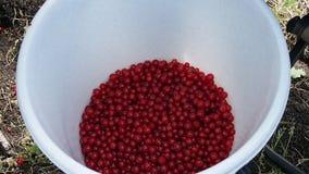 Skörd av röda vinbär i en hink Royaltyfri Fotografi