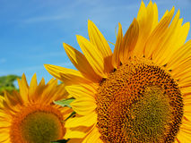 Skörd av solrosen Royaltyfria Bilder