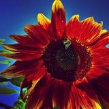 Skörd av solrosorna Royaltyfria Foton