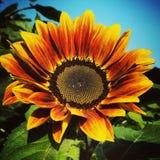 Skörd av solrosorna Arkivbilder