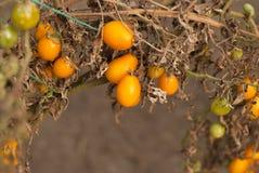 Skörd av tomater Arkivbild