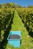 Skörd av vindruvor i en vingård royaltyfri foto