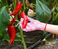 Skörd för röd peppar Arkivbild