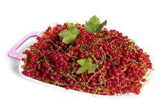 Skörd för röd vinbär Royaltyfria Bilder