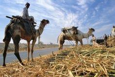 Skörd för sockerrotting i Egypten royaltyfria bilder