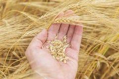 Skörd i bondehand över fält Arkivfoto