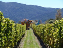 Skörd i vingård royaltyfri bild