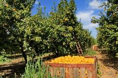 Skörd på citronträdgården Royaltyfria Bilder