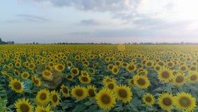 Skörd på fältet, flyg- sikt av den gula solrosen på bakgrundshimmel lager videofilmer