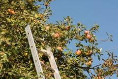 Skörda äpplen på trädet med en stege royaltyfria foton