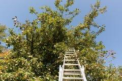 Skörda äpplen på trädet med en stege arkivfoton