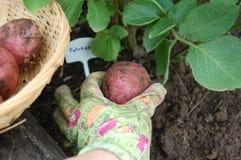 Skörda en organisk potatis från en grönsakträdgård royaltyfri bild