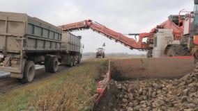 Skörda för sugarbeet den operationen av att ladda rotar i baksidan av en lastbilsläp stock video