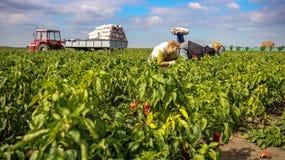 Skörda gula och röda spanska peppar i ett fält Arkivbilder