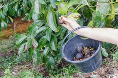 Skörda mangosteenen Royaltyfri Foto