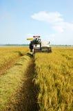 Skörda mogna ris på risfältfält Royaltyfri Bild