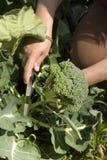 Skörda ny trädgårds- broccoli Arkivbild