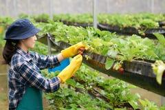 Skörda nya jordgubbar Arkivbild