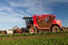 Skörda och lyftande sockerbeta i fält Arkivfoton