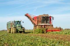 Skörda och lyftande sockerbeta i fält Royaltyfri Bild