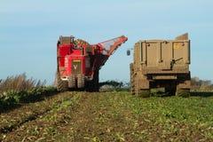 Skörda och lyftande sockerbeta i fält Royaltyfria Bilder