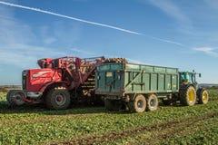 Skörda och lyftande sockerbeta i fält Royaltyfri Fotografi