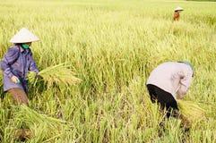 Skörda Rice Arkivfoto