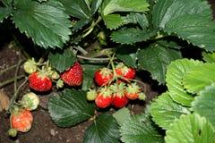 Skörda skörden av jordgubbar är jordgubben Trädgårds- landshus arkivbilder