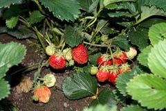Skörda skörden av jordgubbar är jordgubben Trädgårds- landshus Royaltyfri Fotografi