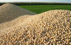 skörda soybeanen Royaltyfria Foton
