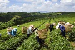 Skörda te i Bao Loc, Lam Dong, Vietnam fotografering för bildbyråer