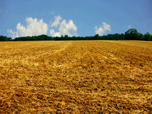 skördad cornfield Arkivbild