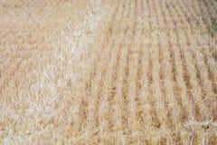 Skördad cornfield som bakgrund eller textur arkivfoto