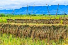 Skördad rice Arkivfoto
