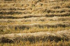 skördad risfältbakgrund Arkivbilder