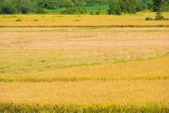Skördad risfälthalva arkivbilder