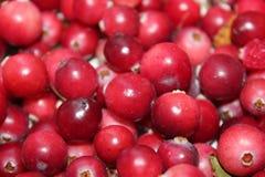 Skördad skog för tranbärskördträsk Arkivfoto