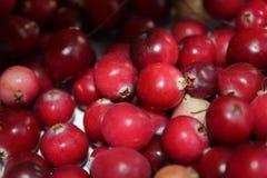 Skördad skog för tranbärskördträsk Arkivfoton