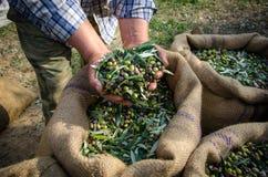 Skördade nya oliv i säckar Royaltyfri Foto