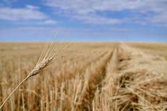 Skördade prärier för kanadensare för kornfält royaltyfri fotografi