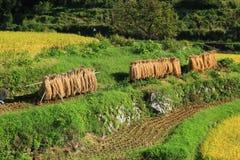 Skördade ris som torkas, Japan Royaltyfria Bilder