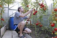 Skördar för en arbetare av röda mogna tomater i ett växthus Arkivbild