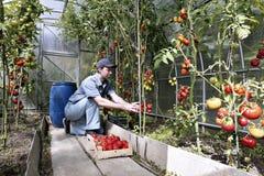 Skördar för en arbetare av röda mogna tomater i ett växthus Fotografering för Bildbyråer