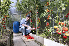 Skördar för en arbetare av röda mogna tomater i ett växthus Arkivbilder